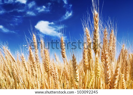 ripe spikes against an intense blue sky - stock photo