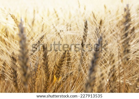 ripe spikes of wheat on the field - stock photo