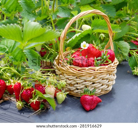 Ripe strawberries in a basket on the field - stock photo