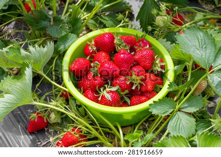 Ripe strawberries in a bowl on the field - stock photo