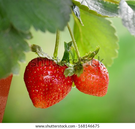 ripe strawberry - stock photo