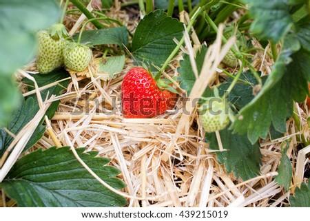 Ripe Strawberry, Summer Fruit - stock photo