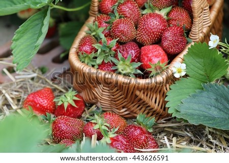 Ripe strawberry with leaves in wicker basket on bed in garden, harvest, sunny summer day - stock photo