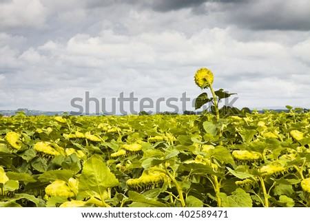 Ripe sunflower in a field ready to be harvest - stock photo