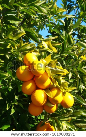 Ripe sweet oranges fruit closeup