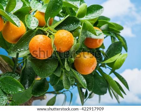 Ripe tangerine fruits on the tree. Blue sky background. - stock photo