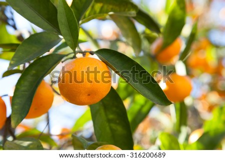 Ripe tangerines in the green foliage - stock photo