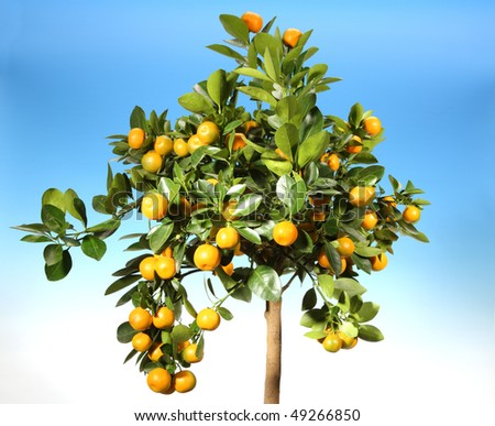 Ripe tangerines on a background of the blue sky - stock photo