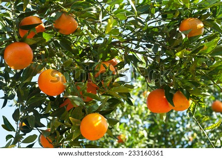 Ripe tangerines on a tree branch - stock photo
