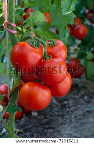 ripe tomato - stock photo