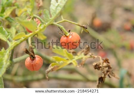 Ripe tomato on tree, the scientific name Lycopersicon esculentum Mill. - stock photo