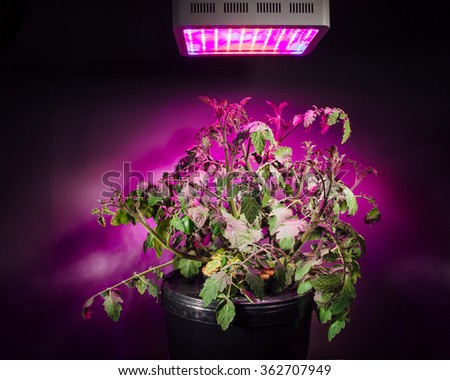 ripe tomato plant under LED grow light - stock photo