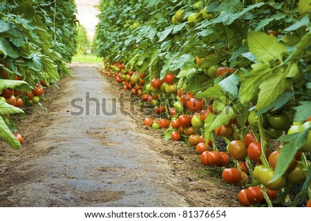 Ripe tomatoes in a greenhouse - green alley - stock photo