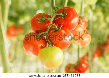 ripe tomatoes in the greenhouse - stock photo
