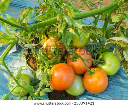 Ripe tomatoes natural - stock photo