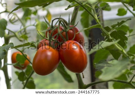 Ripe tomatoes on the bush in the greenhouse. - stock photo
