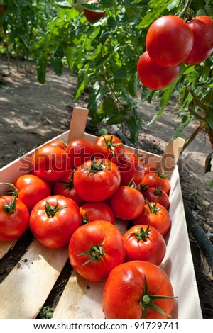 ripe tomatoes ready for picking - stock photo