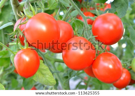Ripe tomatoes ready to pick - stock photo