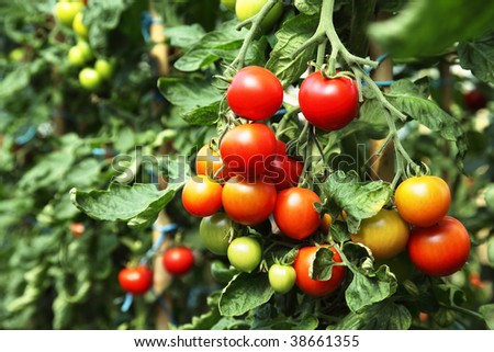 Ripe tomatoes ready to pick in a greenhouse