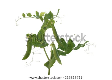 ripe vegetable pea pods on the stalk. Isolate on white background - stock photo