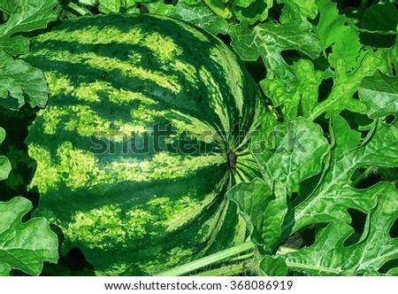 Ripe watermelon at the field in sunlight - stock photo