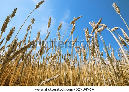 Ripe wheat against a blue sky - stock photo