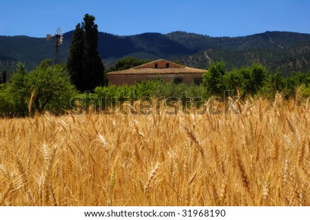 Ripe wheat and blue sky, harvest time in Spanish farmhouse with windmill