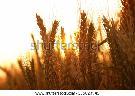 Ripe wheat ears during sunrise