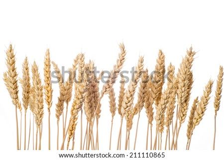 Ripe wheat ears isolated on a white background - stock photo