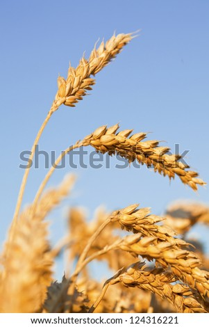Ripe wheat ears ready to be harvested on blue sky background