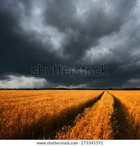 ripe wheat field and dark dramatic clouds, there is a long track of combine