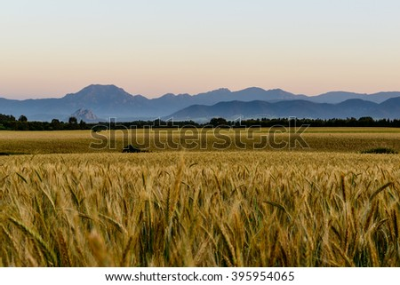 Ripe wheat field before the harvest at sunset in Sardinia. Golden Hour. / Wheat Field at Sunset. - stock photo
