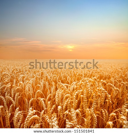 Ripe wheat field. Summer landscape. - stock photo