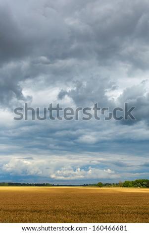 Ripe wheat field under cloudy sky. - stock photo