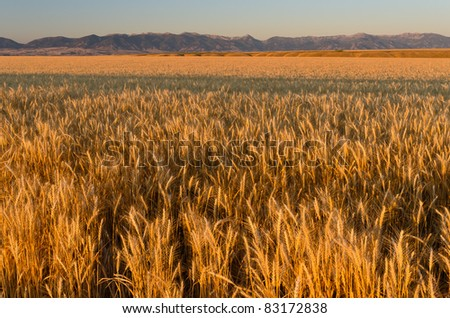 Ripe wheat fields and the Bridger Mountains at sunset, Gallatin County, Montana, USA