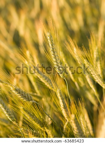 ripe wheat in field, selective focus - stock photo