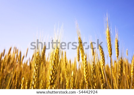 Ripe wheat on a clear summer day - stock photo