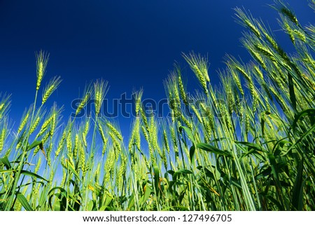 Ripe wheat on blue sky background. Agriculture scene - stock photo