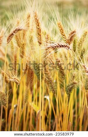 Ripe wheat on the field - stock photo