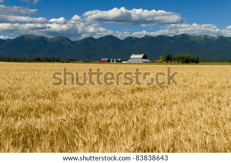 Ripe wheat, red barn and the Swan Range, Flathead County, Montana, USA