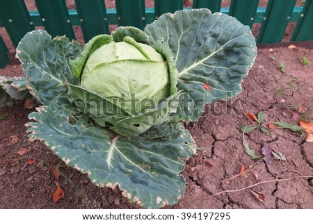 Ripe white cabbage (Brassica oleracea or variants) in the autumn garden - stock photo