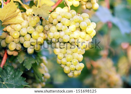 ripe white grape in vineyard in sunny summer day - stock photo