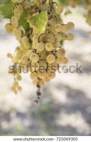 ripe white grapes in a vineyard