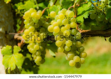 Ripe white wine grapes with grape leaves in a vineyard - Valtice, Czech Republic - stock photo