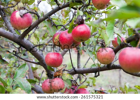 Ripe wild apples growing on the tree branches - stock photo