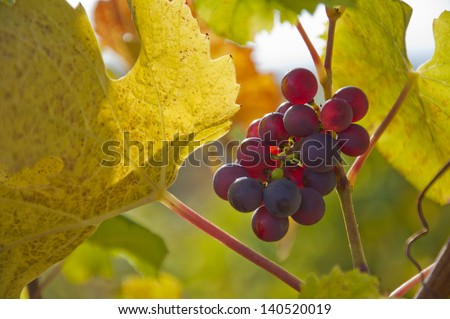Ripe wine grapes on a vibrant grapevine - stock photo