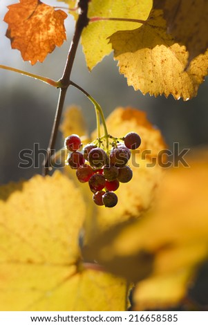 Ripe Wine Grapes on the Vine Ready for Harvest. - stock photo