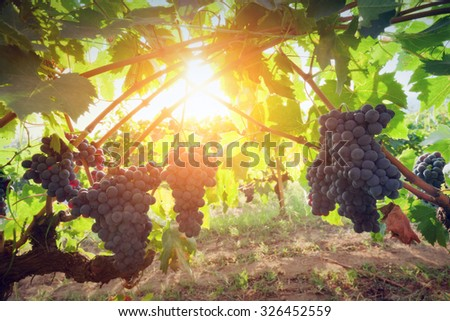 Ripe wine grapes on vines in Tuscany, Italy. Sun shining through leaves - stock photo