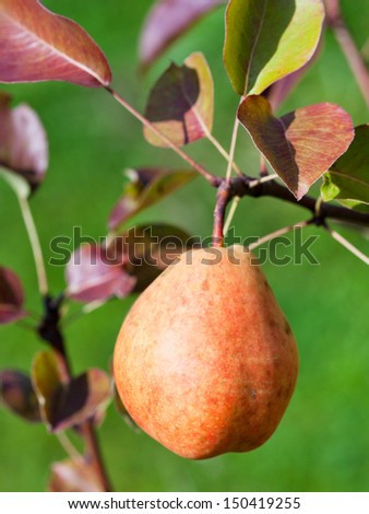 ripe yellow and red pear on branch in fruit orchard