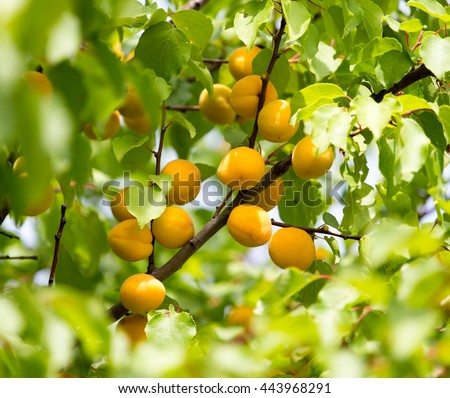 ripe yellow apricot on a tree - stock photo